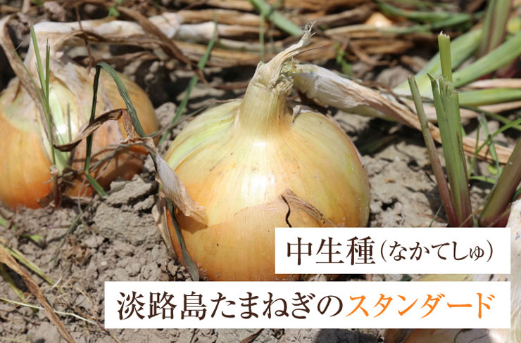 淡路島玉ねぎの種類「中生種(なかてしゅ)」