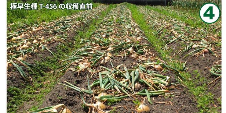 てっちゃんの淡路島j玉ねぎ栽培方法