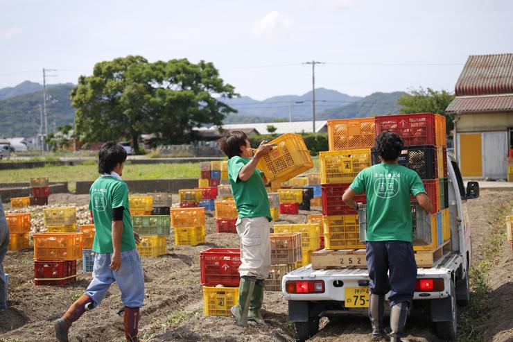 淡路島玉ねぎ蜜玉収穫風景2