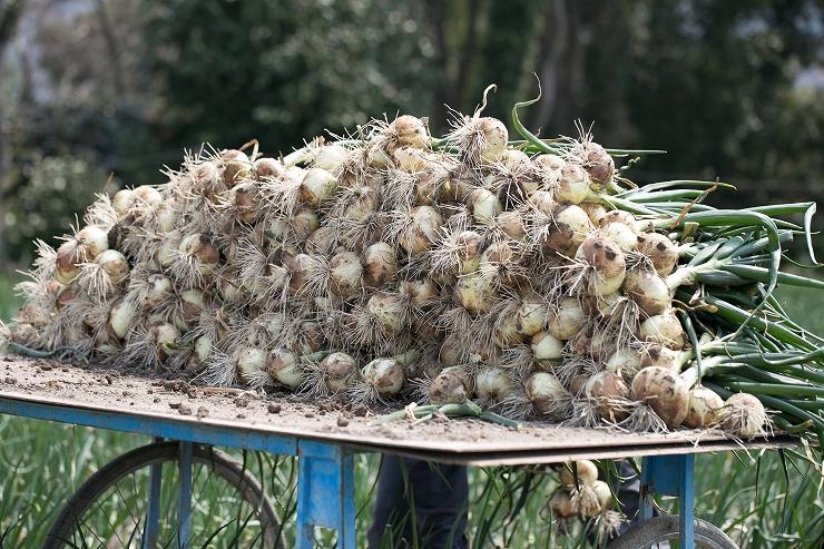 2019年度産淡路島新玉ねぎ 蜜玉(みつたま)3kg/2525ファーム 迫田瞬が有機肥料100%、特別栽培で育てました
